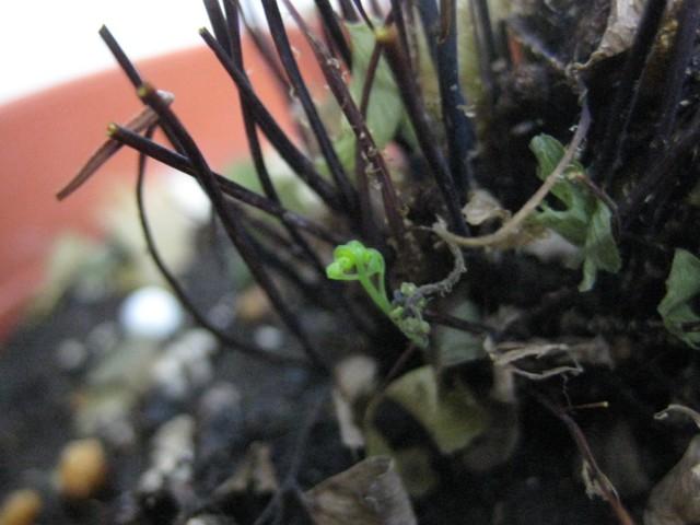 アジアンタムの芽